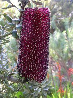 Banksia ... ( Photo de : Cyssa Guerra ) Ver tradução