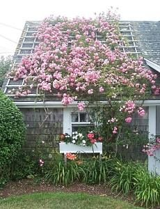 A rose-covered roof on a small cabin