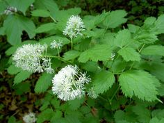 Image result for Actaea spicata Witch Garden, Germination, Plants, Colorful Flowers, Seeds, Poisonous Berries, Perennials, Garden Levels, Small White Flowers