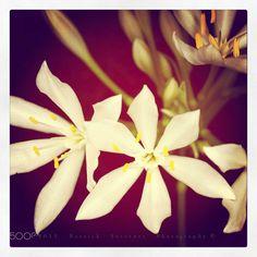 Hostas flowers - null