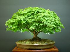 Bonsai - Japanese Maple