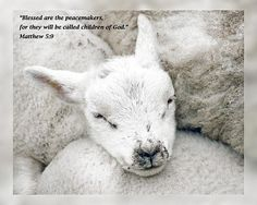 "From Daily Scripture Project by artist Dawn Currie - Beatitudes series: ""Blessed are the peacemakers, for they will be called children of God."" Matthew 5:9 #praiseGod  Photograph of a young lamb. Featured on Fine Art America:  Art by God, Art from the Past, Beauty, Christian Art and Photography, Christian Theme Artwork, and Images That Excite You. #DailyScripture"