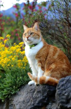 A ginget and white kitty beauty. Cute Cats And Kittens, Cool Cats, I Love Cats, Orange Cats, White Cats, Warrior Cats, Pretty Cats, Beautiful Cats, Animals And Pets