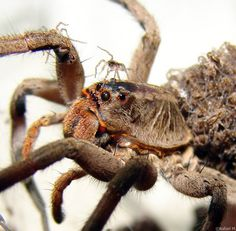 spider and babies by rafael-kakaroto on DeviantArt Wolf Spider, Hair Ornaments, Spiders, Macro Photography, Animal Pictures, Creatures, Deviantart, Bugs, Cool Stuff