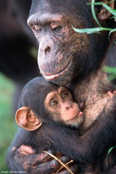 Chimpanzees communicate with each other through a complex system of gestures, facial expressions, body postures and vocalizations, displaying a wide variety of emotions and behaviors.