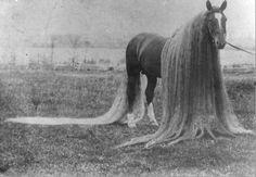 Linus le cheval aux crins les plus long du monde. Une crinière de 3, 54 mètres et une queue de 4,86 mètres !