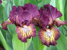 iris flower | Two Bearded iris flowers.jpg