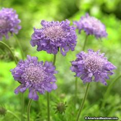 Blue Scabiosa Butterfly Blue, Scabiosa columbaria, Pincushion Flower