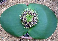 Massonia depressa    10 seeds