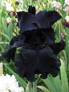Black Bearded Iris