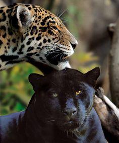 Jaguares - Loro Parque, #Tenerife