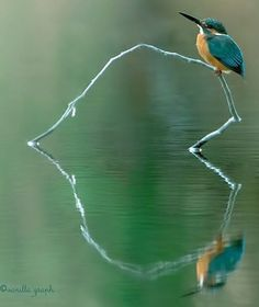 IJsvogel - Kingfisher - Hearts in Nature Beautiful Birds, Animals Beautiful, Cool Pictures, Cool Photos, Beautiful Pictures, Heart In Nature, Amazing Nature, Real Nature, Belle Photo