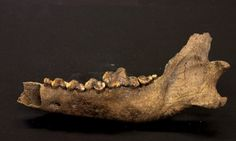 The lower jawbone of the Taimyr wolf. Geneticists have used it to recalibrate the rate at which the species mutated, suggesting dogs may have emerged in their own right thousands of years earlier than current estimates. Photograph: Reuters