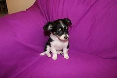 Kijiji - Buy, Sell & Save with Canada's Local Classifieds Long Haired Chihuahua, Dogs And Puppies, Adoption, Long Hair Styles, Female, Animals, Animales, Animaux, Long Hair Hairdos