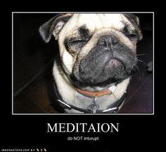 What a zen little pug.