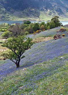 Bluebells - Rannerdale, Lake District, Cumbria, UK