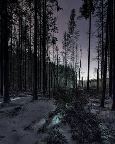 Pine trees in nordic forest.