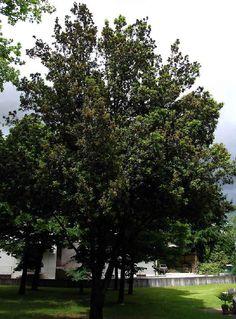 Quercus ilex L.ssp. ilex (8).jpg  LECCIO