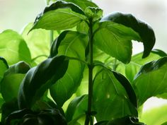 Chances are, you want to keep your basil last longer, produce more and always look good. The key is in pruning it. How to prune basil? We're glad you asked. Types Of Basil, Types Of Herbs, Bell Pepper Plant, Pepper Plants, Herb Garden, Vegetable Garden, Pruning Basil, Basil Health Benefits, Tulsi Plant