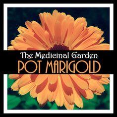 Pot Marigold (Calendula officinalis) the Medicinal Garden