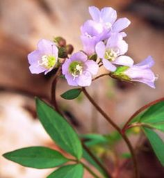 Shade Plants   Jacob's Ladder. Very pretty light blue, bell-shaped flowers in loose clusters appear on sprawling, weak stems in mid- to late spring. The foliage looks fresh and green all through the growing season. Grow in part shade in moist, humus-rich, well-drained soil.