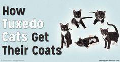 piebald cats http://healthypets.mercola.com/sites/healthypets/archive/2016/03/11/piebald-cats.aspx