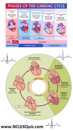 NCLEX Cheat Sheets: Phases of the cardiac cycle for Nursing Students cardiac cycle pqrst wave cardiac cycle in physiology Cardiac cycle of heart cardiac cycle time 5 Steps of Cardiac Cycle The cardiac cycle is essentially split into two phases, systole (the contraction phase) and diastole (the relaxation phase). Each of these is then further divided into an atrial and ventricular component. Oncology Nursing, Cardiac Nursing, Nursing Mnemonics, Cardiac Assessment, Cardiac Rhythms, Cardiac Cycle, Nurse Teaching, Teaching Tips, Nursing School Notes