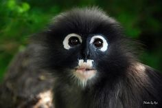 The dusky leaf monkey, spectacled langur, or spectacled leaf monkey (Trachypithecus obscurus) is a species of primate in the Cercopithecidae family. It is found in Malaysia, Myanmar, and Thailand.[2]