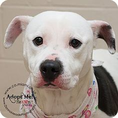 I'm at a high kill shelter in Troy, OH - Pit Bull Terrier. Meet Lulu, a dog for adoption. http://www.adoptapet.com/pet/14823079-troy-ohio-pit-bull-terrier