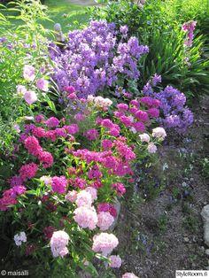 puutarha,piha,perenna,harjaneilikka,jalopähkämö