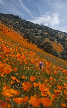 Merced Canyon Wild Flowers by highsierracowboy, via Flickr This reminds me so much of California. I miss it.