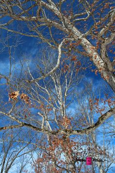 Divergent II #photography #card #print #canvas #nature #foliage #tree #winter
