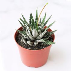Haworthia Zebra Plant is a striking succulent. Its leaves are thin, and dark green with horizontal white ridges that resemble zebra striping. Growing Flowers, Planting Flowers, Zebra Plant, Potting Soil, Echeveria, Clay Pots, Plant Care, Houseplants, Cactus Plants