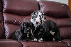 Awesome Great Dane babies 😍