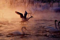 Swan Takes Flight in Misty Morn
