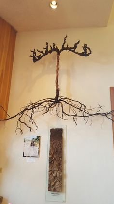 Grapevine with roots on display at ZD