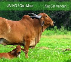 Mother's Love Jai Gau Mata