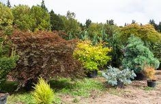 Japanese maples, Rare Tree Nursery, Conifer Kingdom, foliage colors