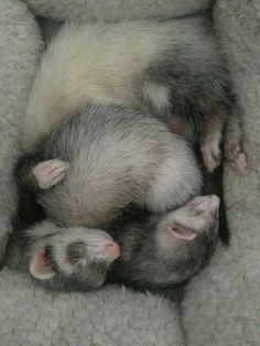 Ferret love  #ferrets #pets #animals