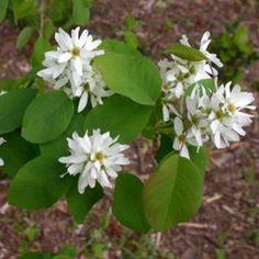 SERVICEBERRY, SASKATOON  (Amelanchier alnifolia)  PNW native plant