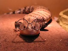 Blue tongue skink wearing tiny glasses | I will own one of these at some point in my life