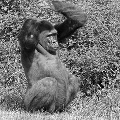 Gorilla The Macarena ! (dance) ... 15 (n&b)(t) by Olao-Olavia par Okaio Créations fz 1000