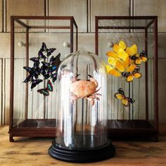 Butterflies and crabs in display cases.. Glass Butterfly, Butterfly Frame, The Bell Jar, Bell Jars, Taxidermy Decor, Shabby Chic Antiques, Cabinet Of Curiosities, Display Cases, Insect Art