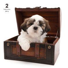 Shih Tzu   DOG   Artlist Collection CALENDAR 2016