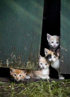 barn kittens...gonna need some kitty cats for the newborn!!