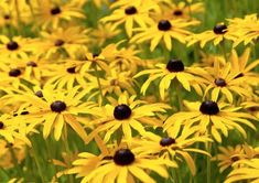 Check out these 17 easy to grow perennials for your garden. Flowering plants which need very little attention and give you a blossoming backyard. Flowers Perennials, Planting Flowers, Flowering Plants, Hummingbird Garden, Black Eyed Susan, Garden Features, Flower Beds, Amazing Flowers, Garden Beds