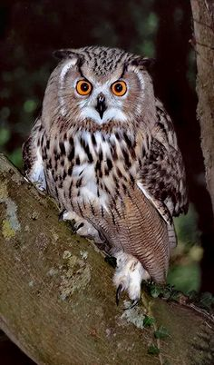 Fotografia Eagle Owl at Dusk de Ronald Coulter na by leanne Beautiful Owl, Animals Beautiful, Cute Animals, Beautiful Pictures, Owl Photos, Owl Pictures, Cute Creatures, Beautiful Creatures, Photo Animaliere