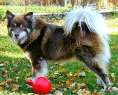 I saw this dog on TV. I really want one. This is a Finnish Lapphund. They live in the Arctic and are a herding (reindeer) breed.