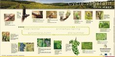 cycle vegetatif de la vigne