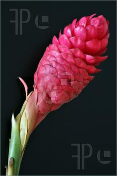 Google Image Result for http://www.featurepics.com/FI/Thumb300/20100510/Red-Ginger-Flower-1533611.jpg
